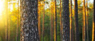 芬兰松-大自然的馈赠