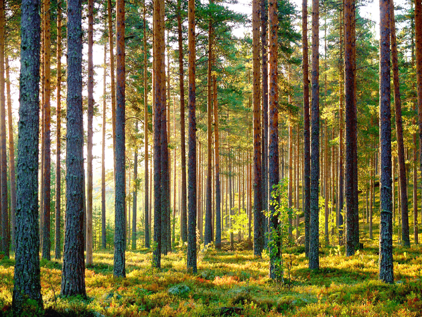 finnish-forest-860